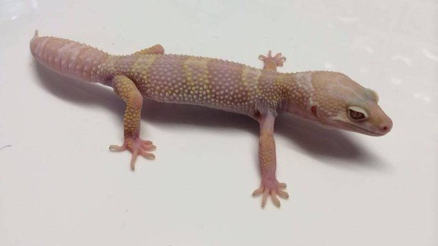 Image 2 of WP&E LIZARDS FOR SALE