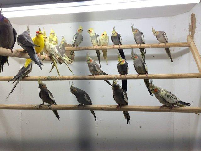 Image 5 of Stocked Bird List at Warrington Pets & Exotics