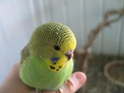 Image 7 of Stocked Bird List at Warrington Pets & Exotics