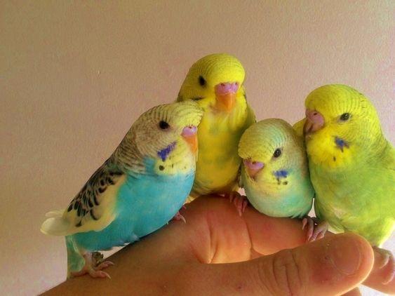 Image 9 of Stocked Bird List at Warrington Pets & Exotics