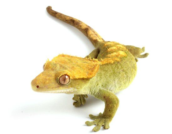 Image 4 of WP&E LIZARDS FOR SALE
