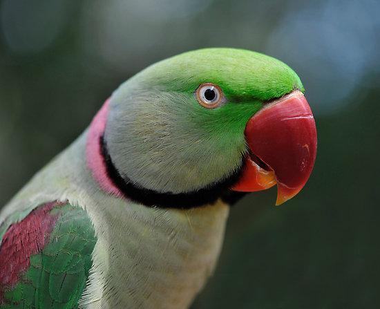 Image 11 of Stocked Bird List at Warrington Pets & Exotics
