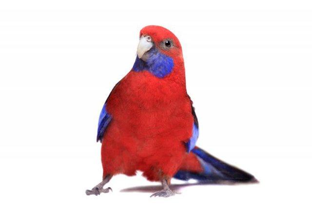 Image 12 of Stocked Bird List at Warrington Pets & Exotics
