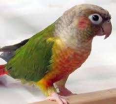 Image 13 of Stocked Bird List at Warrington Pets & Exotics