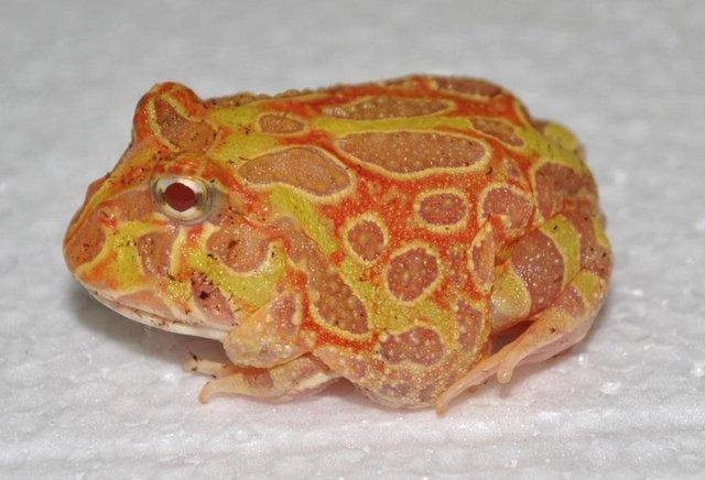 Image 2 of AMPHIBIANS AND INVERTS FOR SALE