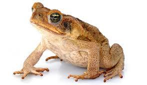 Image 4 of AMPHIBIANS AND INVERTS FOR SALE