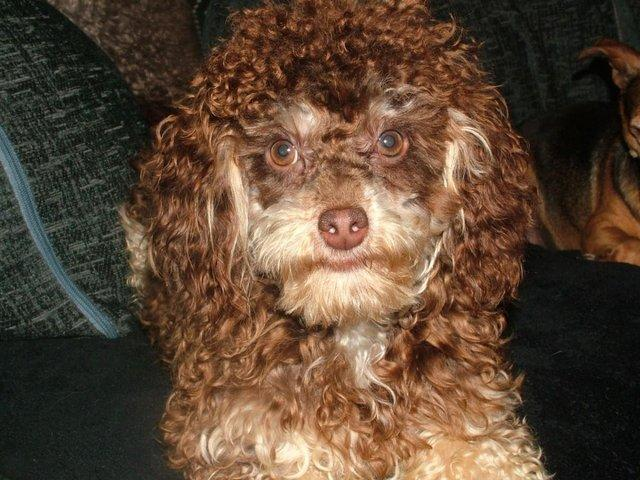 Image 2 of Tiny phantom HEALTH tested poodle for STUD ONLY
