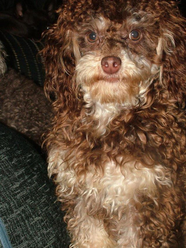 Image 3 of Tiny phantom HEALTH tested poodle for STUD ONLY