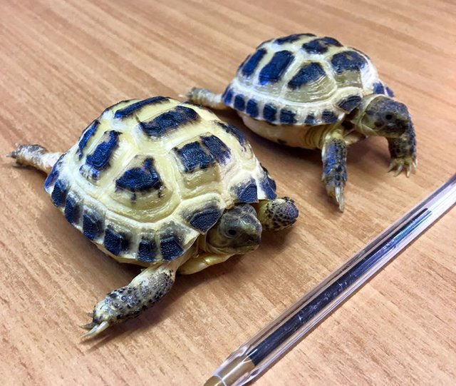 Image 2 of Baby Tortoises for sale