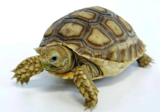 Image 3 of Baby Tortoises for sale