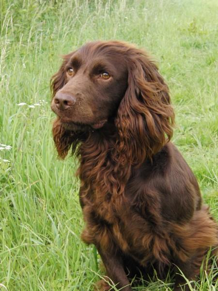 cocker spaniel stud - Animal Services, Advertise and ...