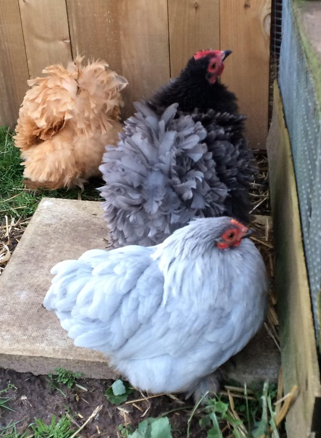 Image 2 of Various Chickens for Sale Pekins Bantams