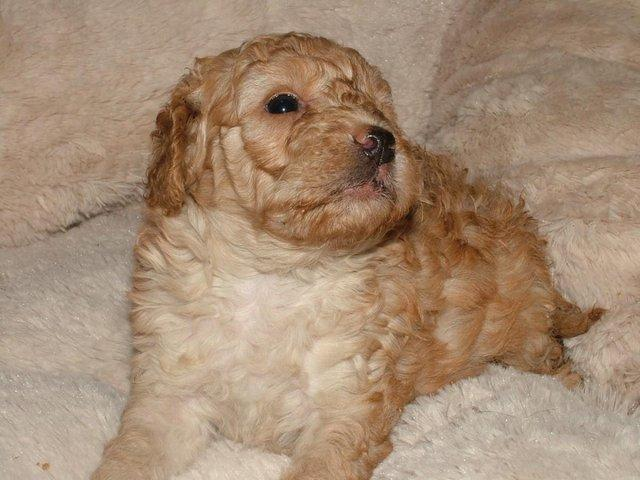 Image 17 of Tiny phantom HEALTH tested poodle for STUD ONLY