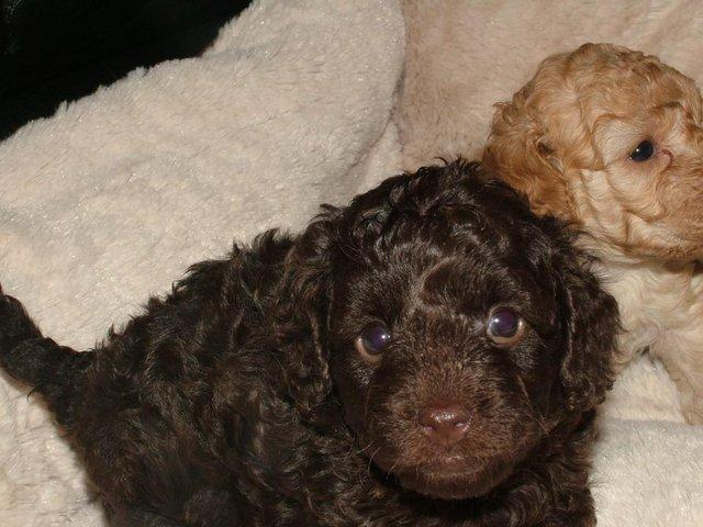 Image 20 of Tiny phantom HEALTH tested poodle for STUD ONLY