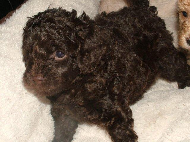 Image 21 of Tiny phantom HEALTH tested poodle for STUD ONLY