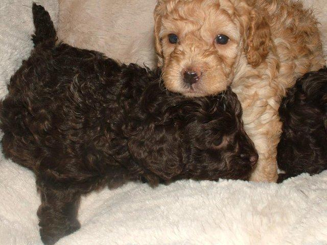 Image 23 of Tiny phantom HEALTH tested poodle for STUD ONLY