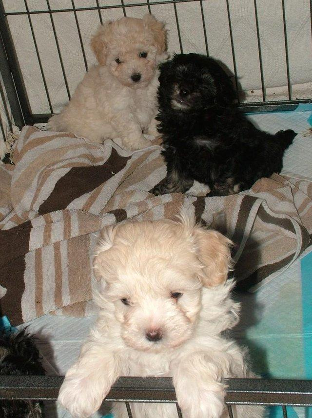 Image 28 of Tiny phantom HEALTH tested poodle for STUD ONLY
