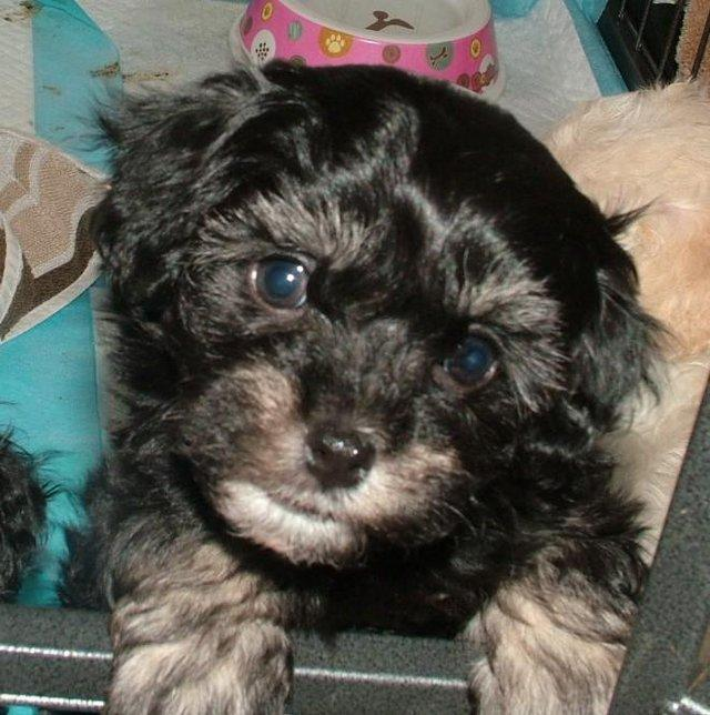 Image 29 of Tiny phantom HEALTH tested poodle for STUD ONLY