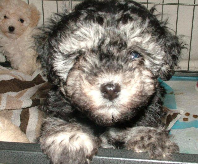 Image 31 of Tiny phantom HEALTH tested poodle for STUD ONLY