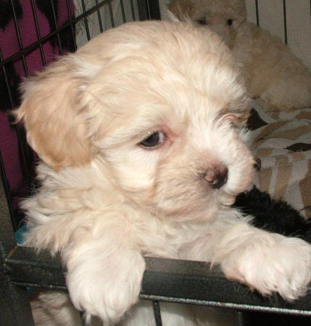 Image 32 of Tiny phantom HEALTH tested poodle for STUD ONLY