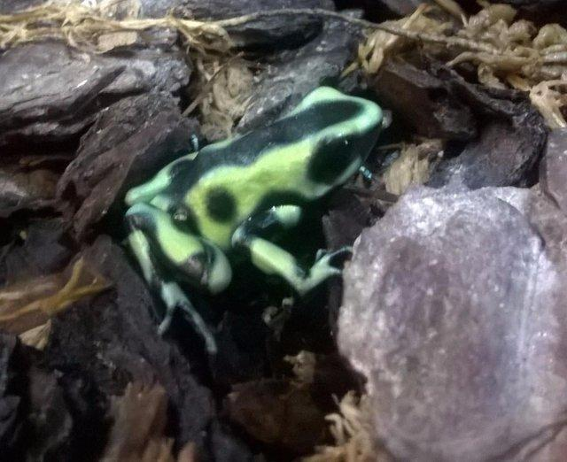 Image 5 of Dart Frogs available at Birmingham Reptiles and Pets