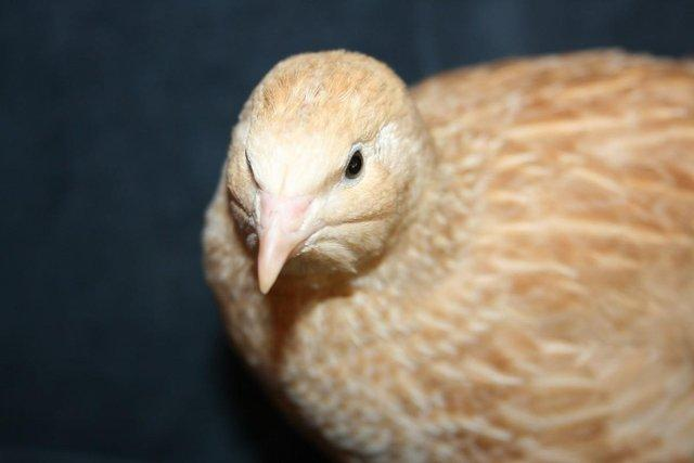 Preview of the first image of Japanese and Italian (coturnix) quail for sale.