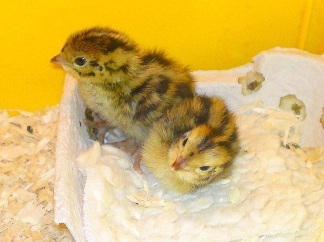 Image 2 of Japanese and Italian (coturnix) quail for sale