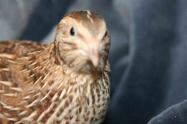 Image 3 of Japanese and Italian (coturnix) quail for sale