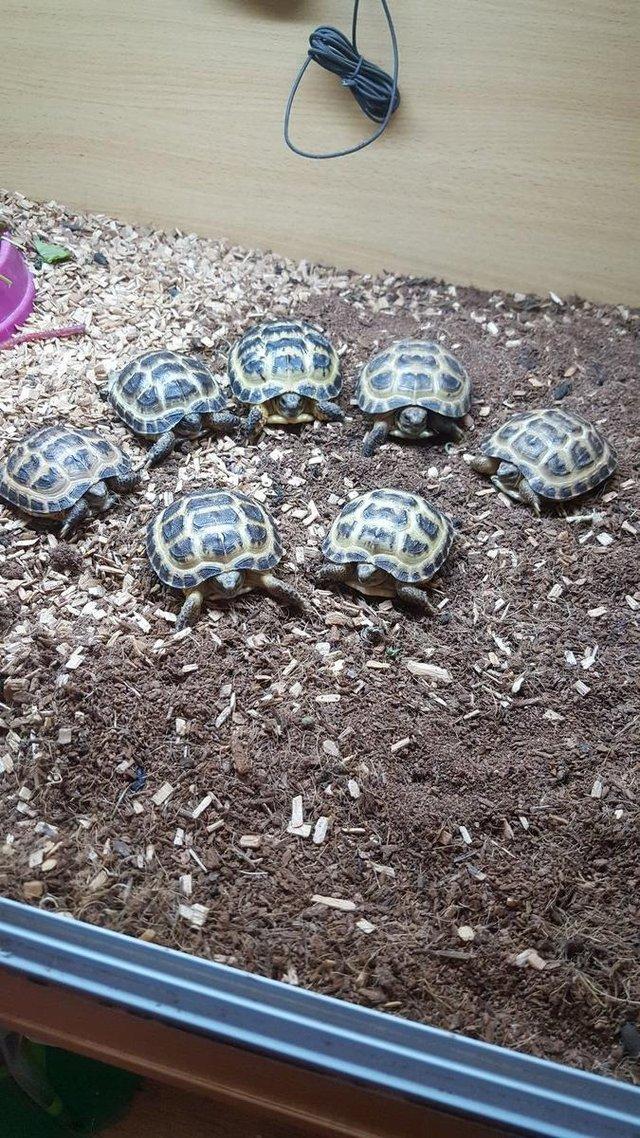 tortoise reptiles for sale in blackburn lancashire preloved rh preloved co uk