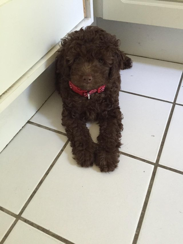 Image 33 of Tiny phantom HEALTH tested poodle for STUD ONLY