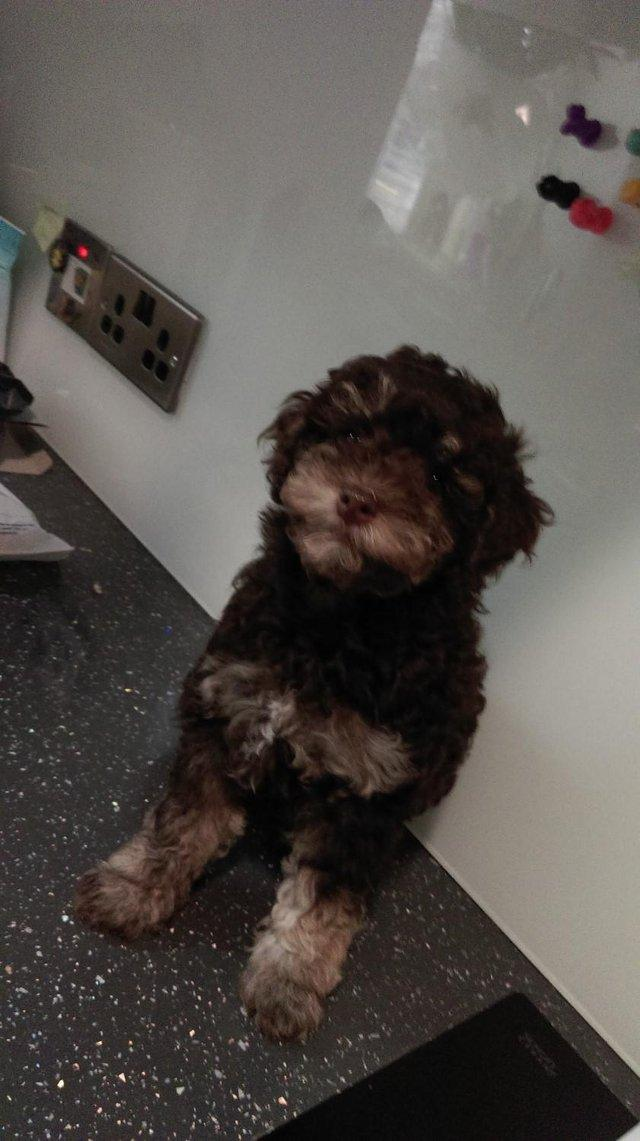 Image 35 of Tiny phantom HEALTH tested poodle for STUD ONLY