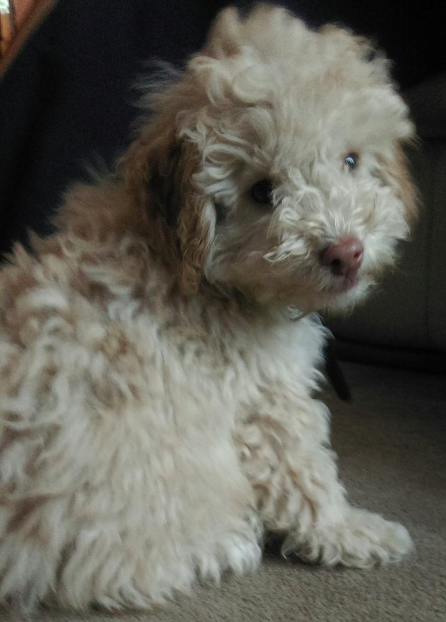 Image 36 of Tiny phantom HEALTH tested poodle for STUD ONLY