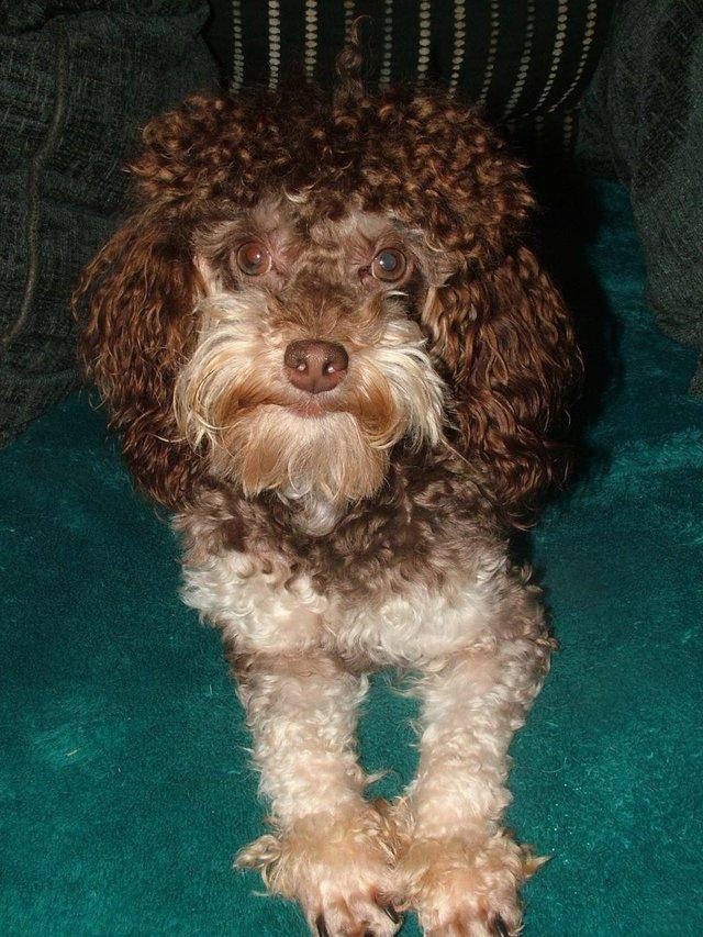 Image 46 of Tiny phantom HEALTH tested poodle for STUD ONLY