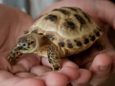 Image 2 of Stunning Baby Tortoises available lots to choose from..