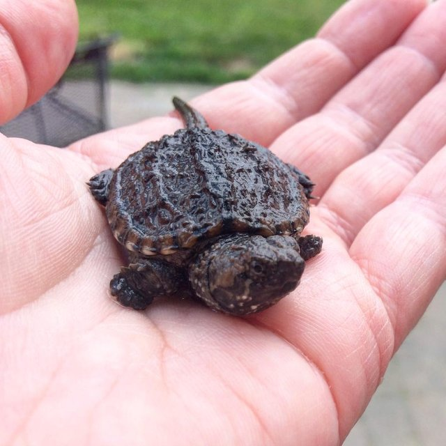 Image 3 of Stunning Baby Tortoises available lots to choose from..