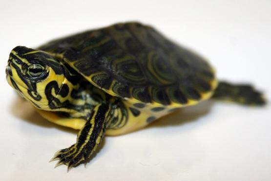 Image 4 of Stunning Baby Tortoises available lots to choose from..
