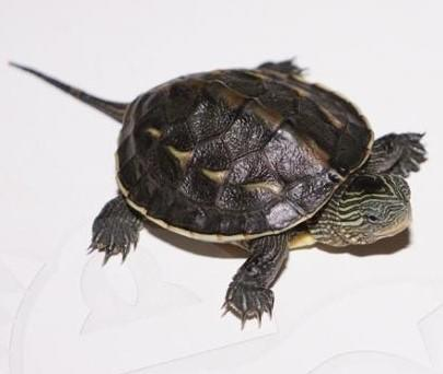 Image 5 of Stunning Baby Tortoises available lots to choose from..