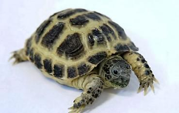 Image 4 of Baby Tortoises for sale