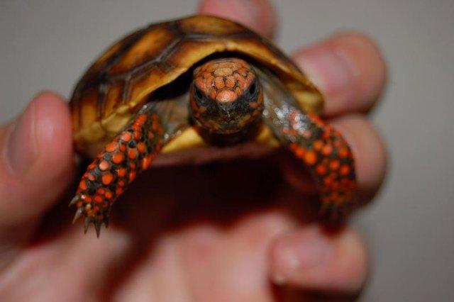 Image 5 of Baby Tortoises for sale
