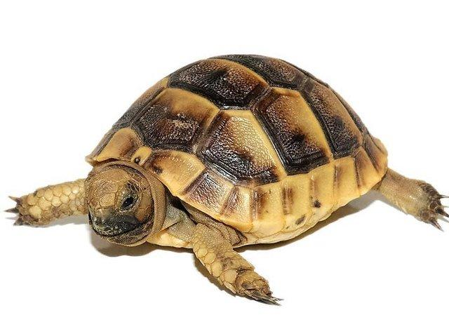 Image 6 of Baby Tortoises for sale