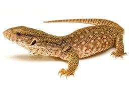 Image 6 of WP&E LIZARDS FOR SALE