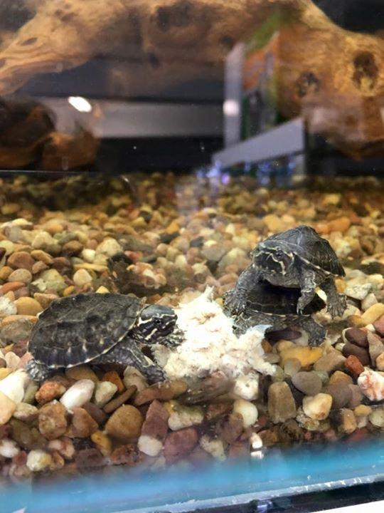 Preview of the first image of Various baby turtles at urban exotics feb 21.