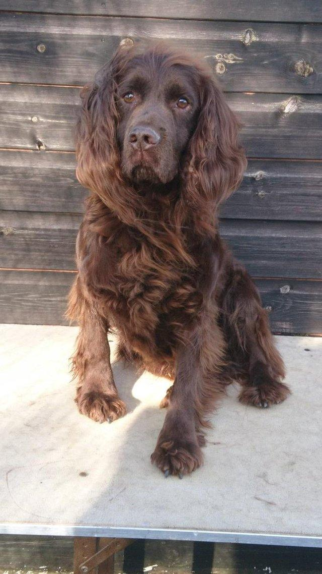 Image 3 of AT STUD WORKING CHOCOLATE COCKER SPANIEL