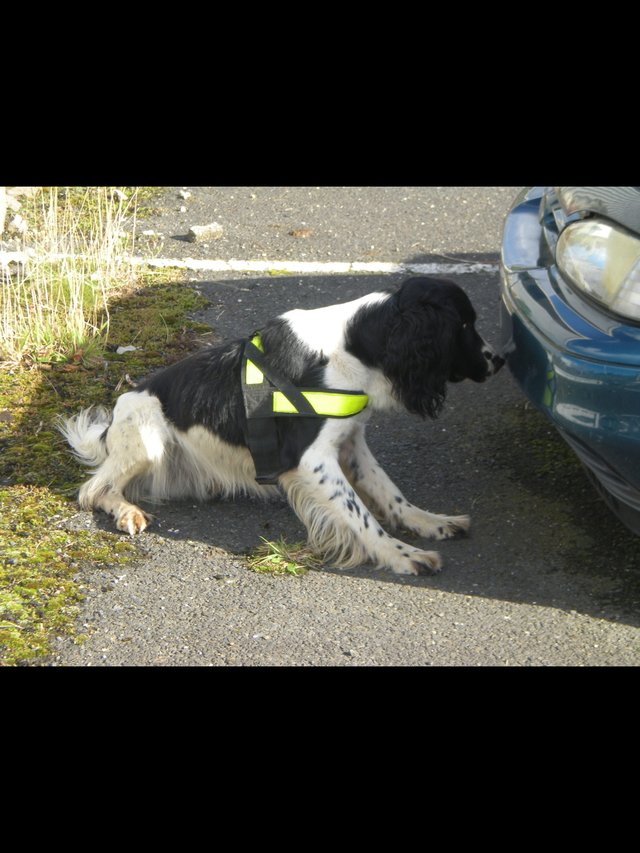 Preview of the first image of *WANTED* Cocker Spaniels.