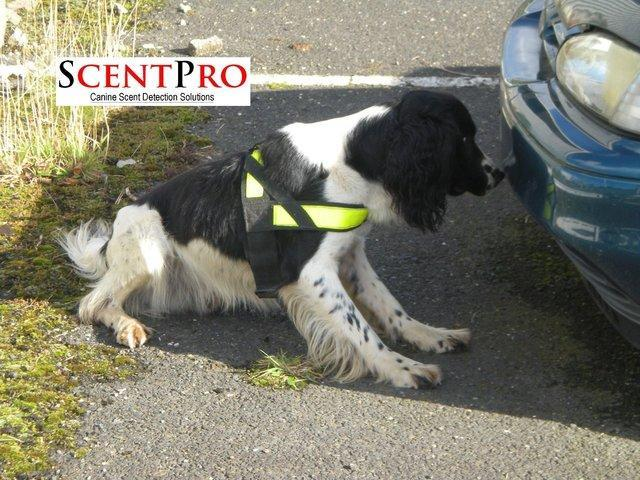Image 2 of *WANTED* English Springer Spaniels