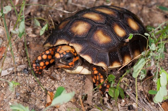 Image 7 of Stunning Baby Tortoises available lots to choose from..