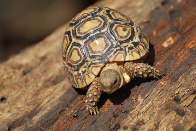 Image 8 of Stunning Baby Tortoises available lots to choose from..