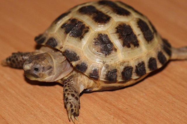 Image 9 of Stunning Baby Tortoises available lots to choose from..