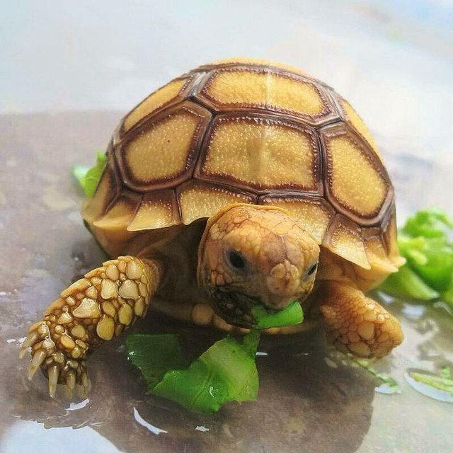 Image 11 of Stunning Baby Tortoises available lots to choose from..