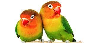 Image 16 of Stocked Bird List at Warrington Pets & Exotics